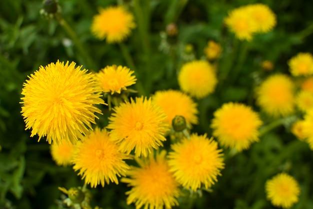 春のタンポポの雑草