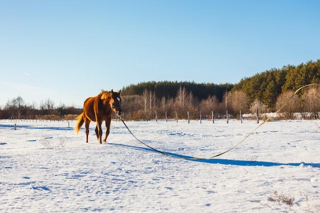 日当たりの良い冬の野原で子馬