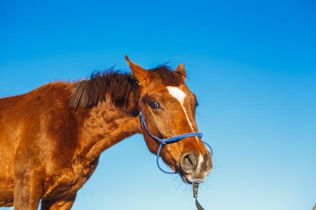 赤い驚いたアラビアの子馬の肖像画