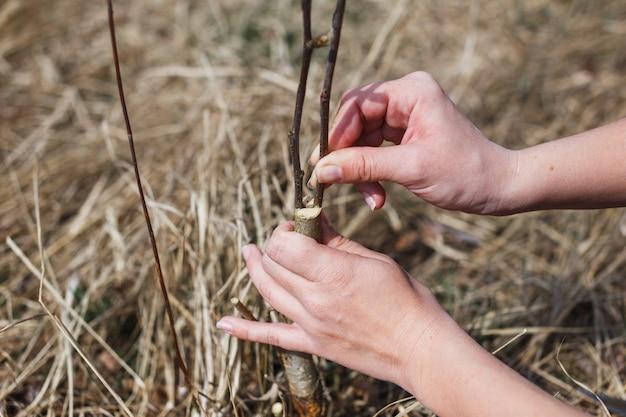 男は庭で野生のリンゴを切る。