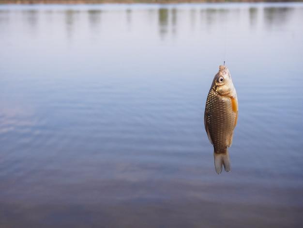 Маленький карась висит на крючке над водой