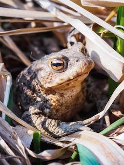 乾いた草に大きな大きなヒキガエルの肖像画