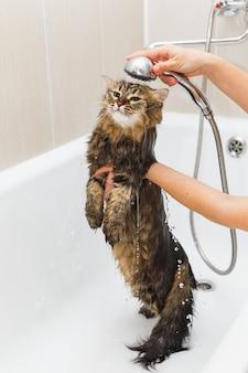 女の子は白いお風呂でシャワーの中でふわふわの猫を洗います