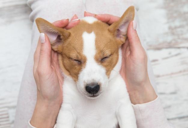 Щенок джек рассел спит собака терьер своими руками