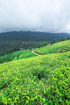 Чайная плантация пейзаж