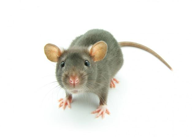 Маленькая серая мышь