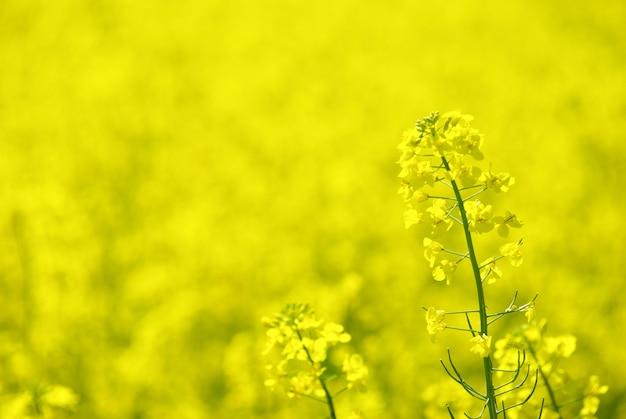 Желтое поле цветов
