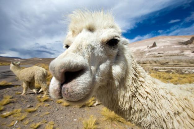 Ламы в дикой природе