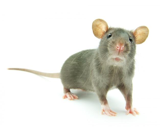 Серая мышь смотрит
