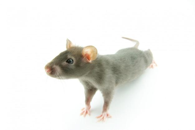 灰色の小さなマウス