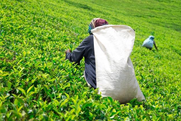 Женский сборщик чая в чайной плантации