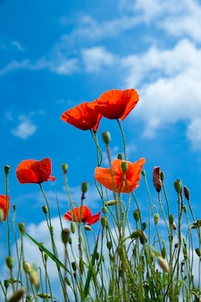 青い空と日光の下でケシの花