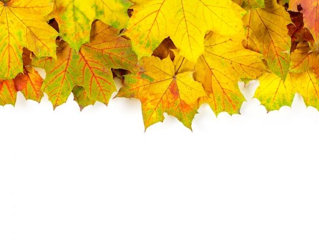 秋のカエデの葉、白で隔離