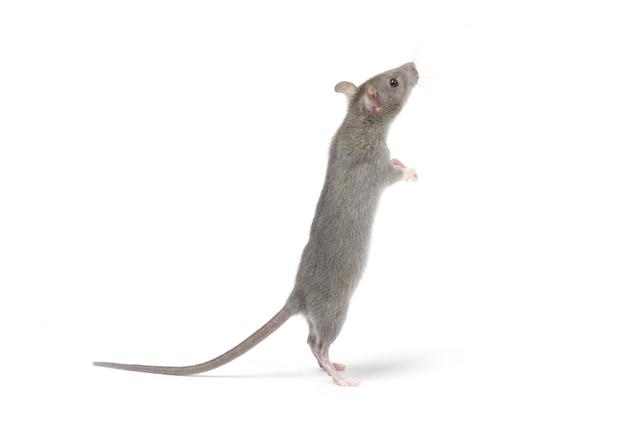 Крыса изолирована