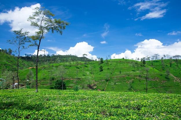 茶畑。自然の風景