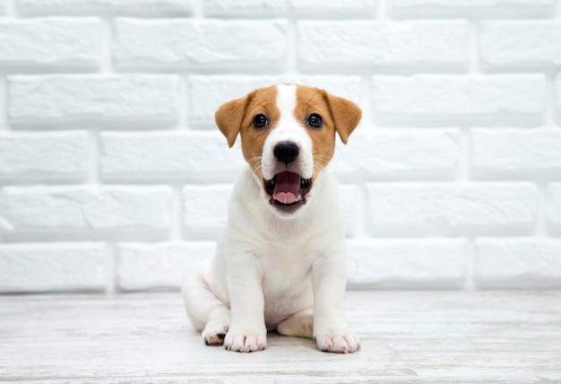 Щенок джек рассел терьер. собака сидит на деревянном полу.