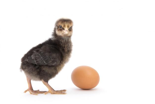 白で隔離される小さな鶏