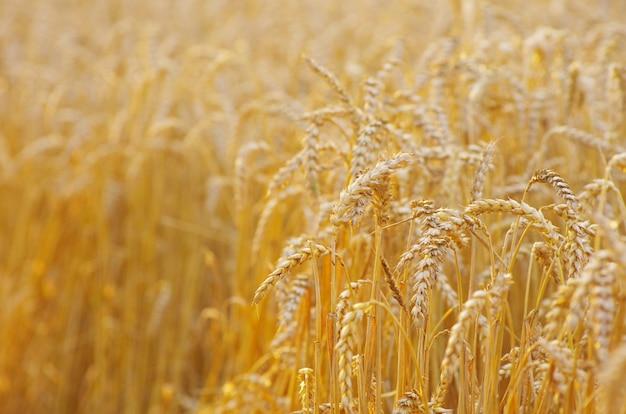黄金の小麦