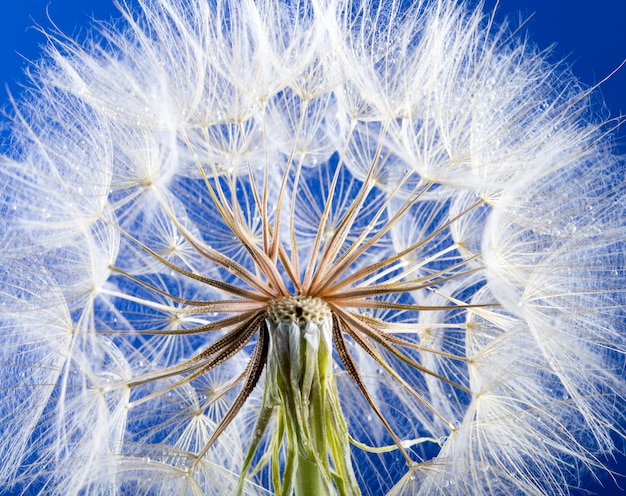 Макро фотография семян одуванчика с каплями воды