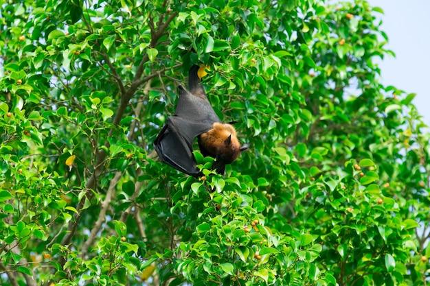 Летучая мышь висит на ветке дерева малаян