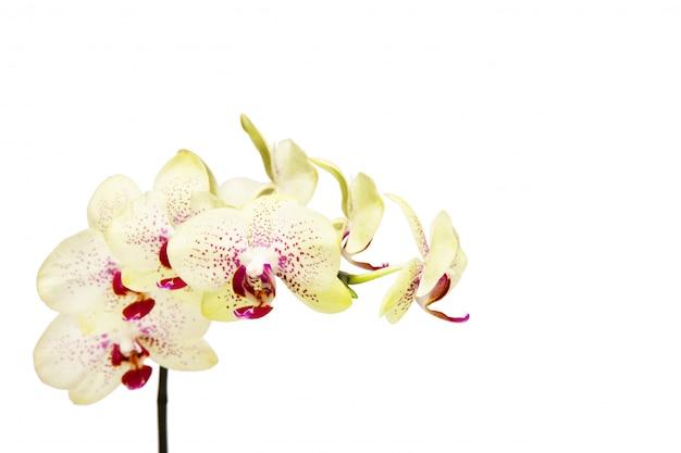 Белая орхидея, изолированная на белом