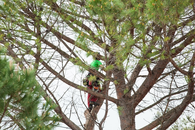 男剪定松の木。