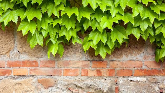 緑のツタの古いレンガの壁