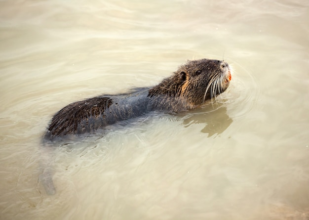 水で泳ぐコイプ