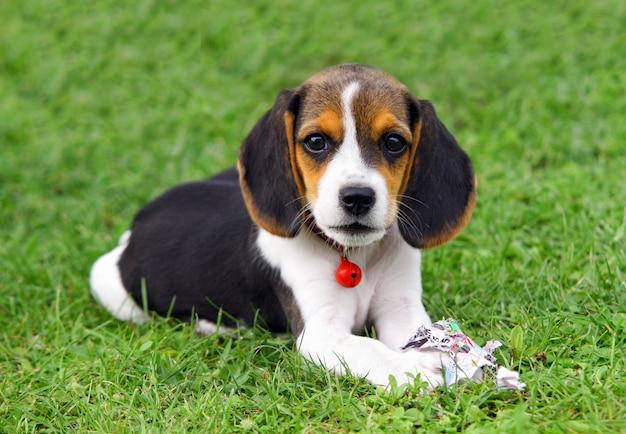 かわいいビーグル子犬