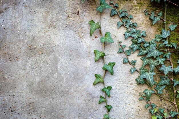 壁に緑のツタの枝