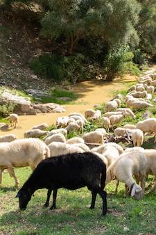巨大な羊と山羊の群れ