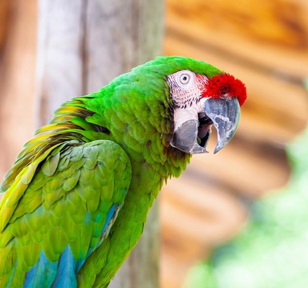 コンゴウインコオウム鳥