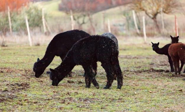 トスカーナのアルパカの繁殖。