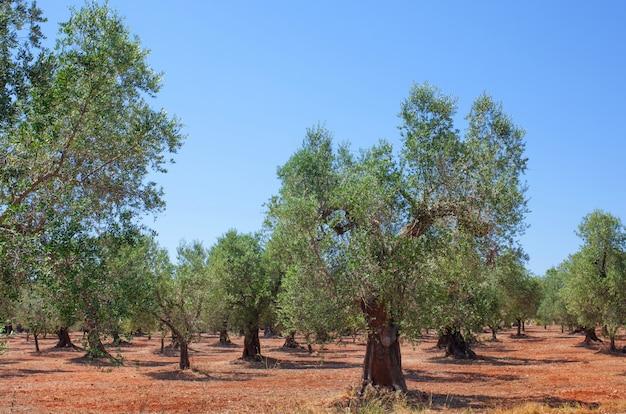 オリーブの木立