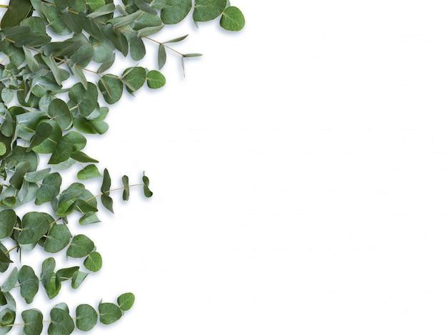 Эвкалипт зеленые листья и ветви, изолированные на белом