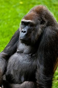 Горилла побережья, горилла горилла