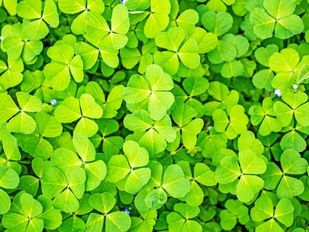 春の緑のクローバー草の背景