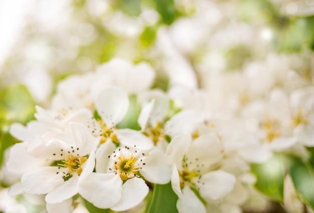 開花アップルツリーの背景色