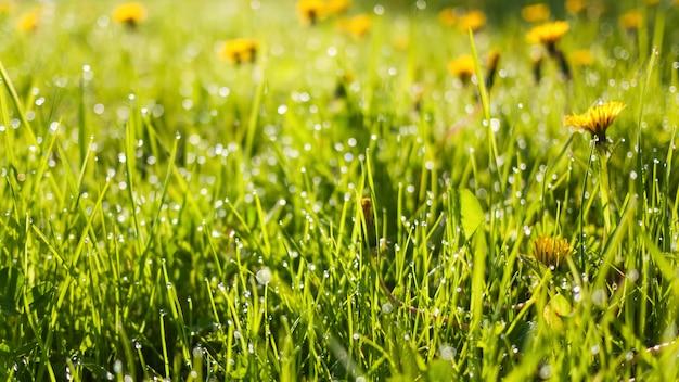 新鮮な緑の芝生と露の滴をタンポポ