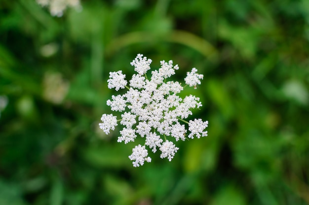 背景をぼかした写真のマクロに白い花の花序