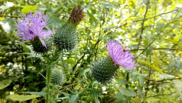 森の昆虫と野生の花紫アザミ