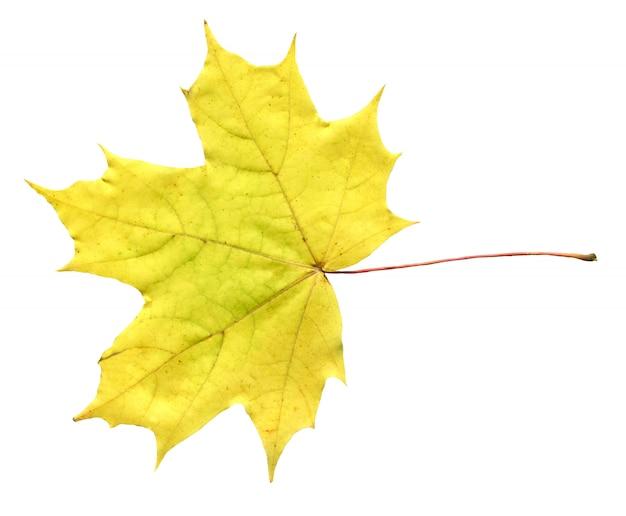 黄色のカエデの葉の白い背景で隔離