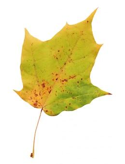 カエデの葉は白で隔離されます。