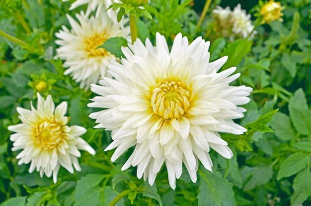 ダリアサボテンの花