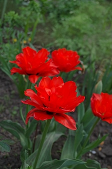 二重赤牡丹チューリップ赤姫