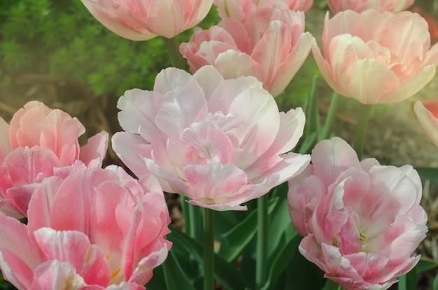 美しいダブルピンクのチューリップ。ピンクの早咲き二重チューリップ