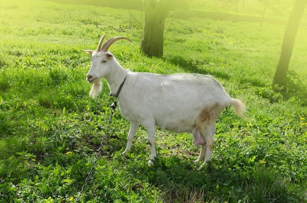 庭で草を食べる若いヤギ。春の庭で屋外の白いヤギ