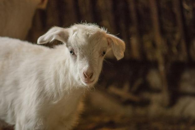 納屋の中の白いヤギ。農場の飼いヤギ素敵な白い子供ヤギ。木製の避難所に立っている小さなヤギ