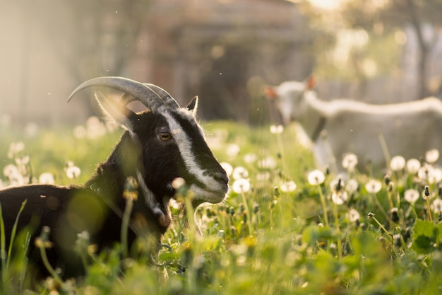 草の上の黒いヤギ。黒国内ヤギ。農場で飼育されている飼いヤギ