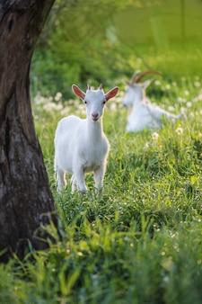 かわいいヤギは草の上を放牧します。小さな子供のヤギフィールド内の白いヤギ